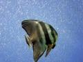 fledermausfisch_big